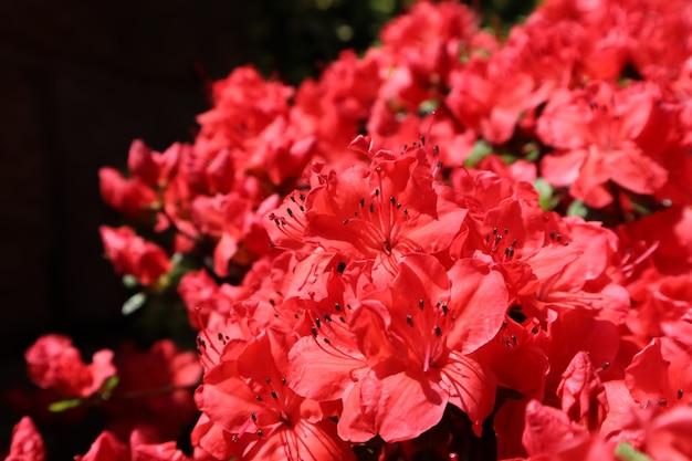 Fiori rossi di fioritura dell'azalea nel fondo floreale di concetto di giardinaggio del giardino di primavera