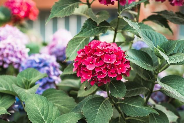 Sfondo di ortensie o ortensie rosse in fiore. giardino primaverile o estivo. primo piano sul letto di fiori, fuoco selettivo