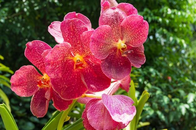 Fioritura orchidea rossa.