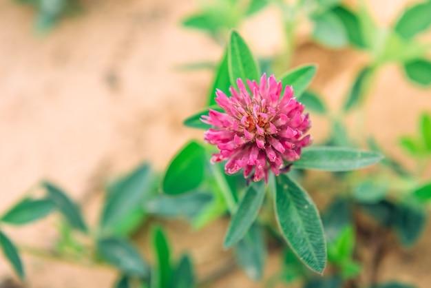 Fioritura di trifoglio rosso o rosa ed erba verde. fiori di erbe estive
