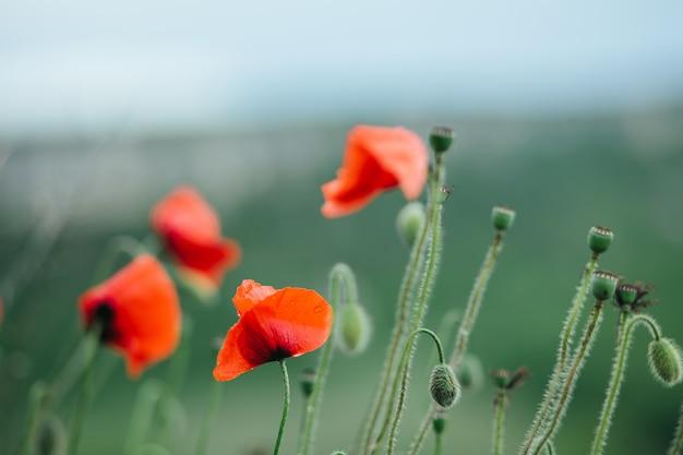 Primo piano di papaveri rossi in fiore su uno sfondo verde con roccia e cielo.