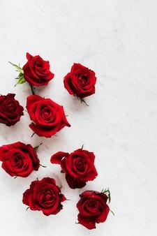 Rose rosse in fiore su sfondo bianco