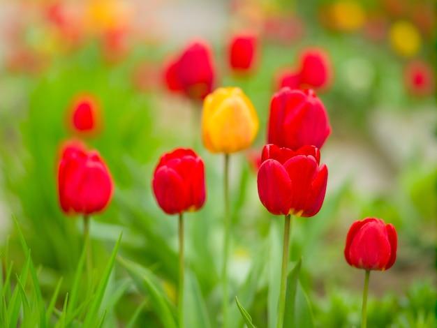 Fioritura di tulipani rossi, gialli e redyellow nell'aiuola in un giorno di primavera, luce naturale. fiori di primavera
