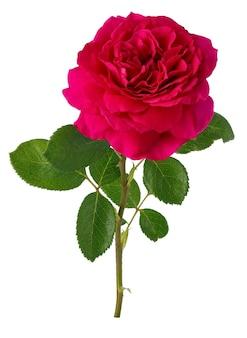 Fiori di rosa in fiore. pianta perenne isolata