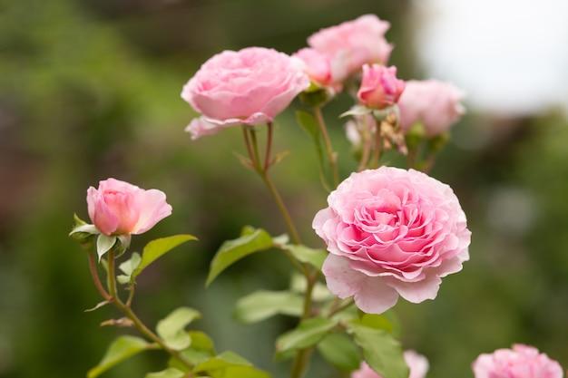 Rose e boccioli in fiore su un cespuglio in giardino