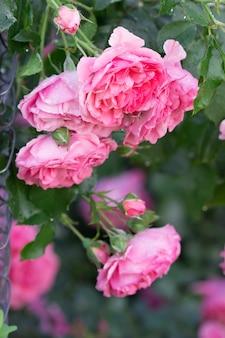 Rose in fiore e boccioli nel giardino di casa. messa a fuoco selettiva.