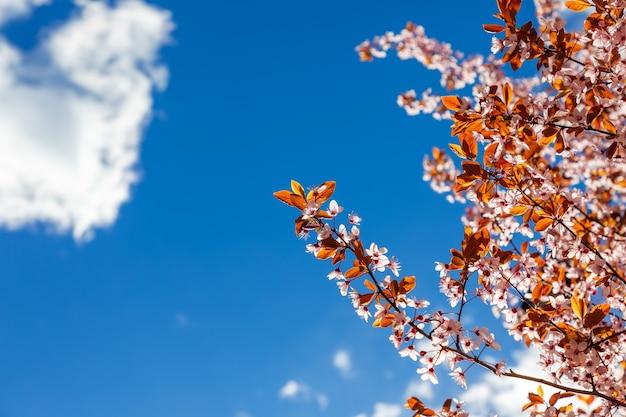 Ramo di sakura in fiore sullo sfondo di un luminoso cielo primaverile