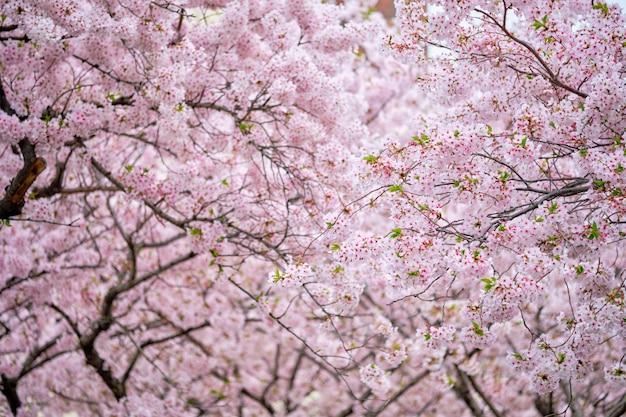 Fiore di ciliegio sakura in fiore