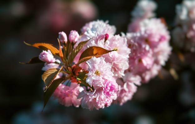 Albero di sakura in fiore e sfondo della natura. close-up di fiori di ciliegio sakura nella stagione primaverile.