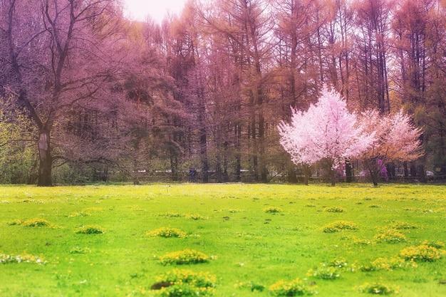 Albero di sakura in fiore sullo sfondo di primavera del parco