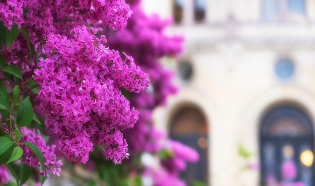 Fioritura lilla primaverile sullo sfondo di un edificio della città