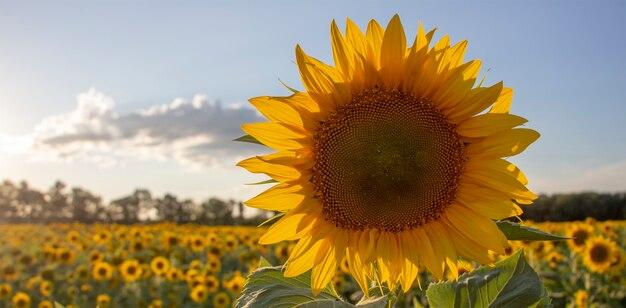 Girasole in fiore nel cielo e campi di girasole.
