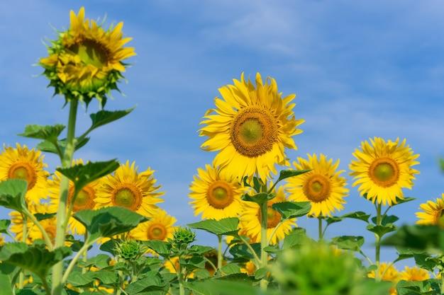 Girasoli in fiore su sfondo naturale, campo di girasoli sullo sfondo del cielo