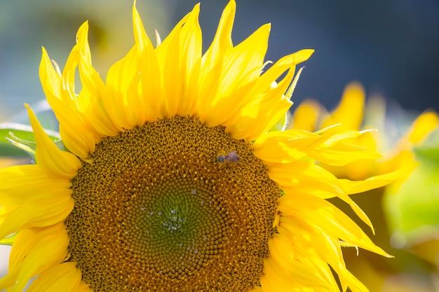Girasoli in fiore alla luce del sole. agronomia, agricoltura e botanica.