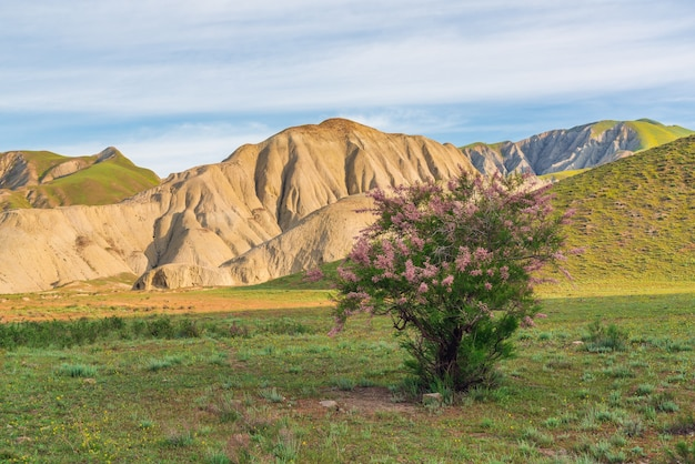 Cespugli di tamerici in fiore in una valle di montagna