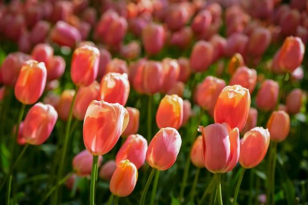 Aiola di fioritura dei tulipani nel giardino floreale di keukenhof, paesi bassi
