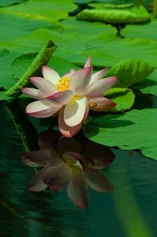 Fioritura di ninfea nel laghetto in giardino in autunno. è circondato da foglie d'acqua. ninfea si riflette nell'acqua.
