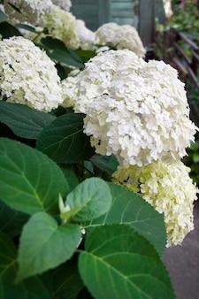 Arborescens bianco di annabelle hydrangea di fioritura