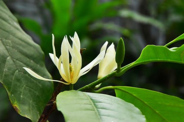 Il champaka bianco in fiore sull'albero