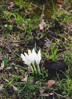 Croco bianchi in fiore