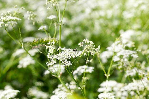 Fioritura su un campo di fiori bianchi, fotografato da vicino in estate. piccola profondità di campo