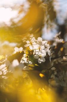 Fiori bianchi che sbocciano sul ramo. sfondo di primavera.