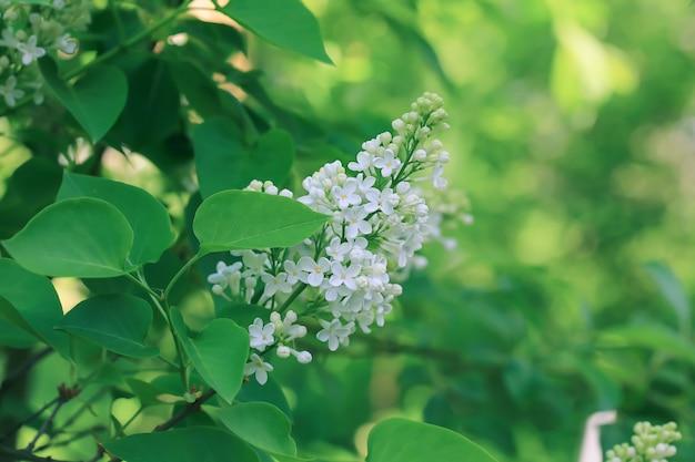 Lillà bianco in fiore