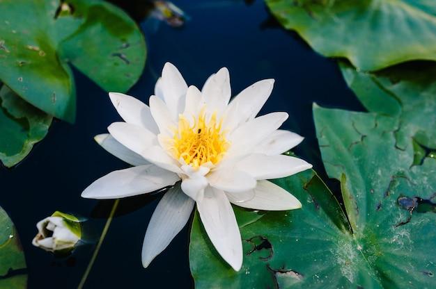 Fioritura di loto bianco che galleggia in acqua