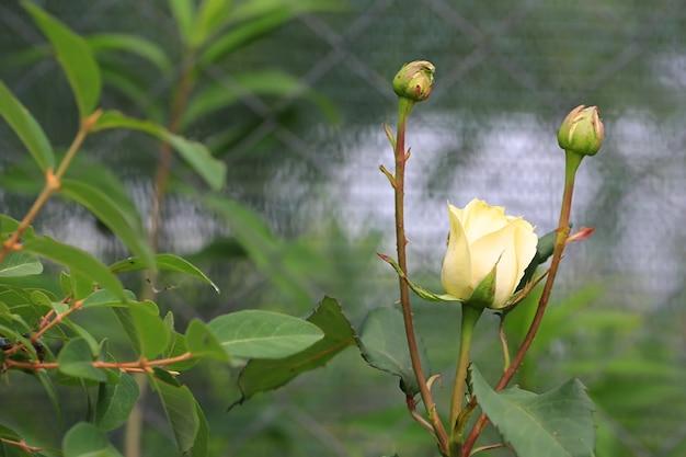 Rosa bianca in fiore nel giardino estivo