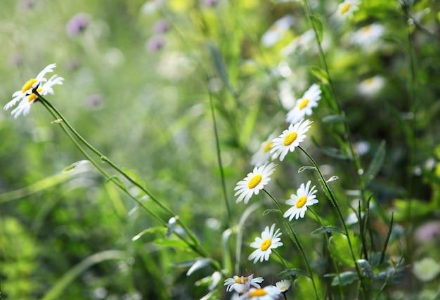 Fiori selvatici in fiore matricaria chamomilla o matricaria recutita o camomilla italiana camomilla