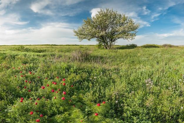 Fioritura di peonie selvatiche nella steppa, paesaggio primaverile con fiori