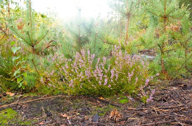 Fioritura di erica viola rosa selvatica in fiore nella foresta in una giornata autunnale.
