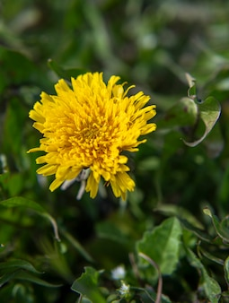 Dente di leone giallo in fiore nel parco. muro di fiori di primavera