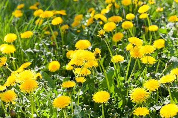 Denti di leone gialli in fiore su un prato con erba verde, primo piano