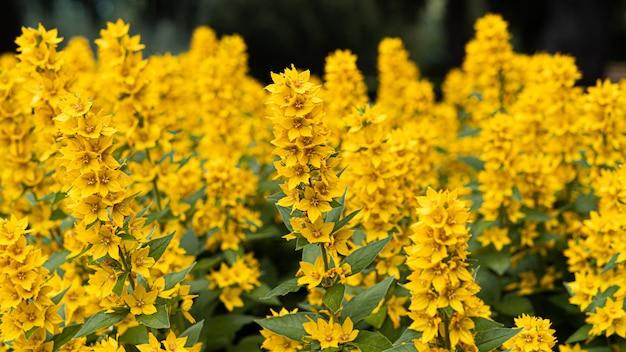Fioritura gialla fiore moneywort close up, pianta colorata e vivace, sfondo naturale.