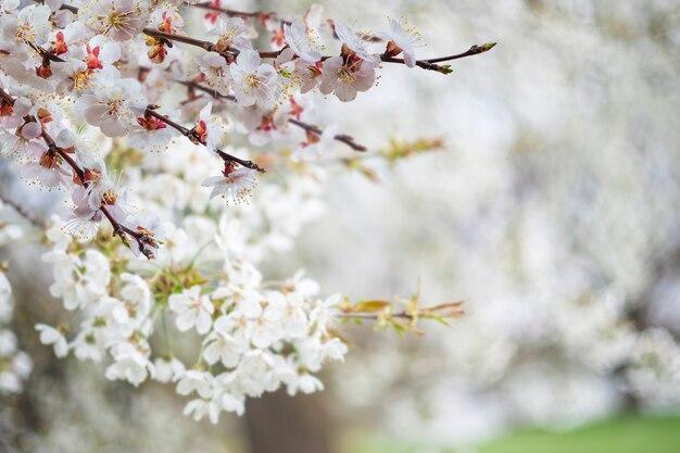 Alberi fioriti, albicocche e ciliegie