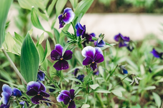 Fiore viola giardino pansy fiore fotografia macro su uno sfondo verde. sfondo floreale viole del pensiero nella foto ravvicinata estiva.