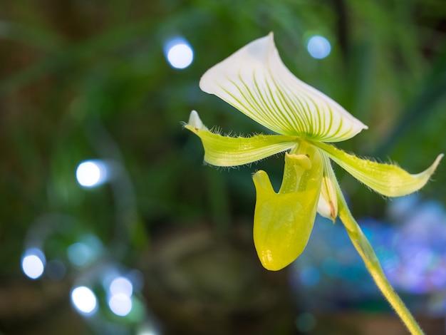 Il fiore raro orchidee paphiopedilum. allevamento di orchidee