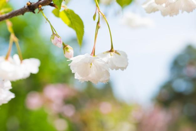 Fiore di sakura bianco fiori su un ramo di ciliegio primaverile sopra il cielo blu. macro ravvicinata
