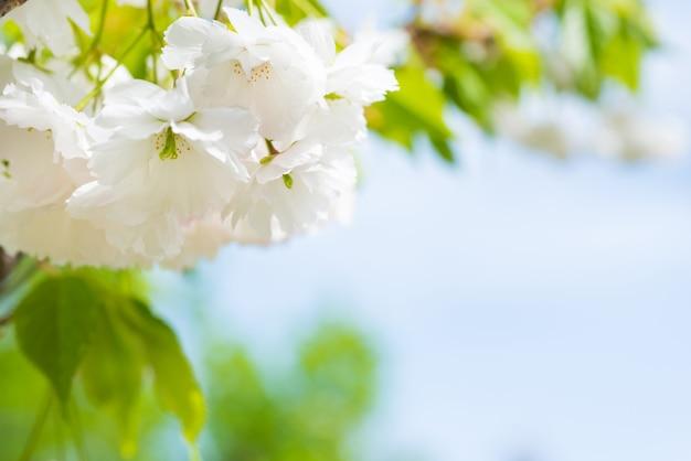 Fiore di fiori bianchi di sakura su un ramo di ciliegio primaverile sopra il cielo blu
