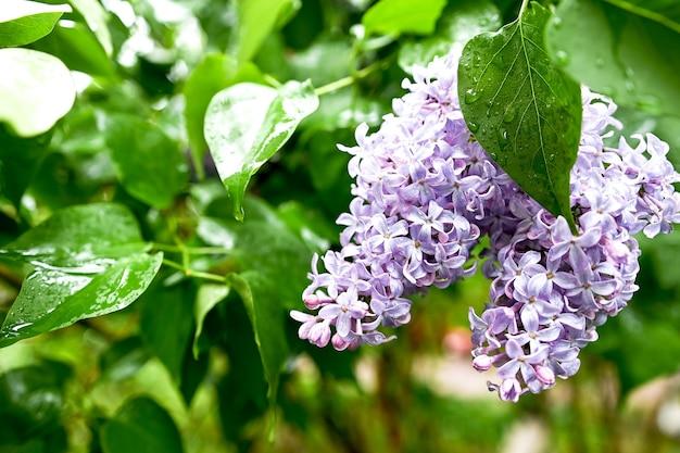 Ramo fiorito di lillà dopo la pioggia