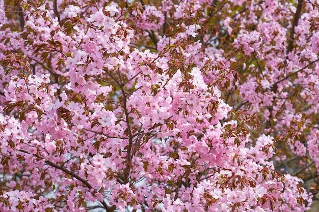 Ciliegia in fiore come sfondo naturale primaverile.