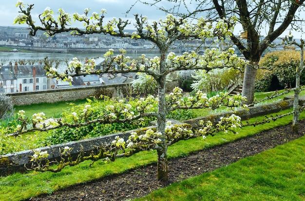 Ciliegio in fiore nel parco cittadino (blois, francia)