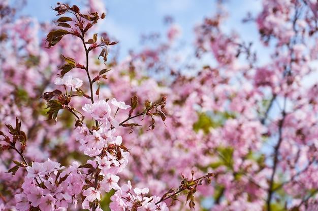 Ciliegio in fiore con alberi sfocati e cielo sullo sfondo. copia spazio.