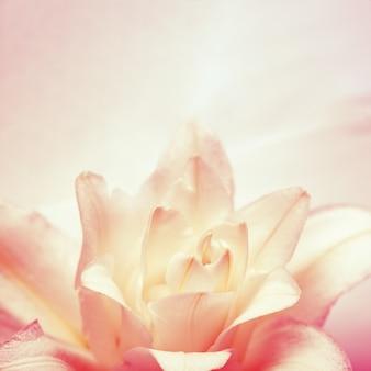 Petali in fiore delicati di giglio di peonia, fiore di lillà in fiore bianco rosso e luce del sole