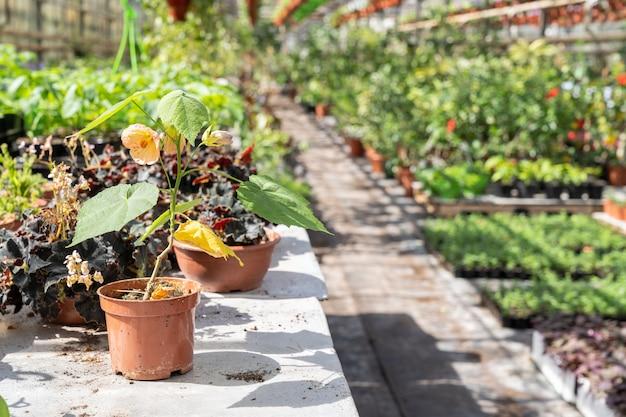 Fiore sbocciante in vaso da fiori di plastica sul tavolo di lavoro dell'agricoltore nell'interno della serra della serra