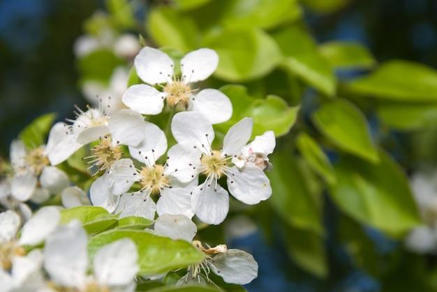 Fiori sboccianti di melo con foglie fresche verdi in una giornata estiva.