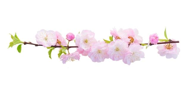 Fioritura rosa fresca ciliegio sacura rami con fiori su sfondo bianco
