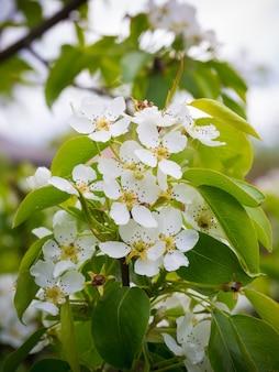 Pero in fiore. sfondo estivo. primavera. ramo fiorito