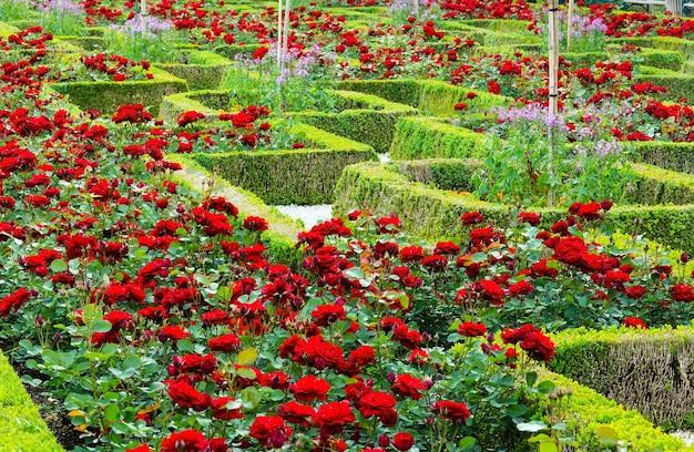 Aiuole di rose in fiore nel parco cittadino estivo